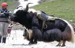 Yak Safari In Leh